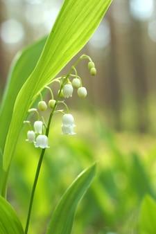 숲의 개간에 섬세한 화이트 은방울꽃