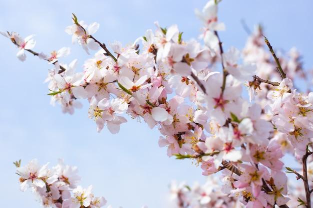 Нежные белые цветы сакуры на ветке дерева на фоне неба