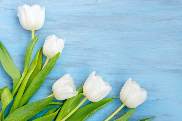 Delicate white tulip flowers on blue wooden background. valentine's day, mother's day concept.