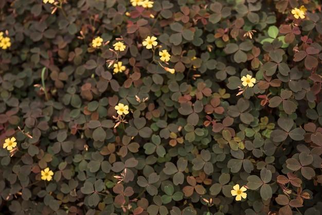Delicate yellow volcanic sorrel flowers