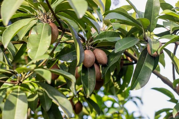 정원에 있는 나무에서 자라는 맛있는 건강한 사포딜라 과일
