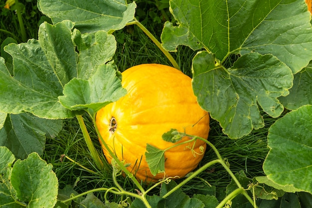 Delicious large ripe pumpkin grow on green bush lying on lush grass in kitchen garden at bright sunlight on nice autumn day closeup. harvesting time