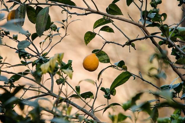 Вкусный лимон на зеленом дереве листьев. зачатие весны, новой жизни в природе.