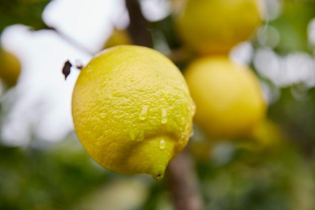 水滴と葉の間の木にぶら下がっているおいしいレモン。