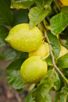 Вкусные лимоны, висящие на дереве между листьями с каплями воды.
