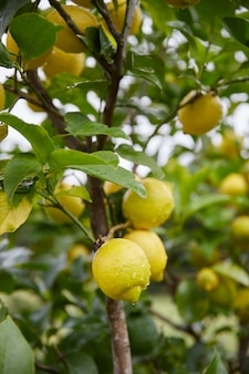 Delicious lemons hanging on the tree between leaves with drops of water.