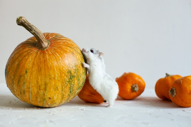 Delicious orange pumpkins for a healthy diet and celibration of halloween with a frutty white and cute hamster, background for the cards