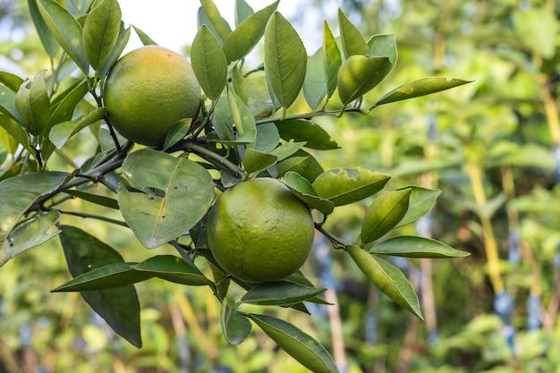 정원의 가지에서 자라는 맛있는 유기농 건강 오렌지