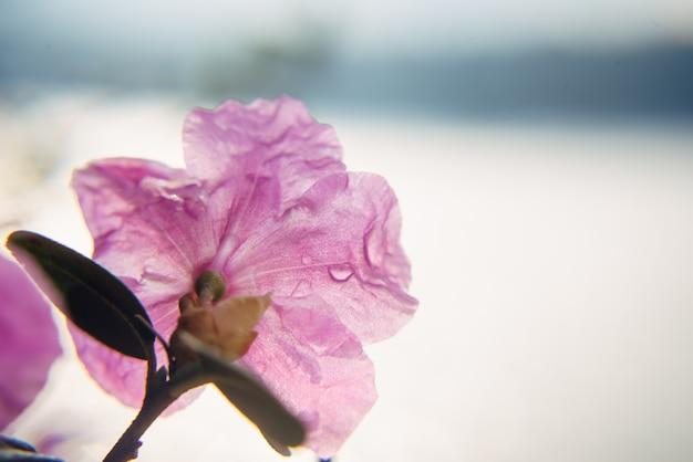 Вкусный розовый цветок сакуры с каплями утренней росы, крупным планом, мягким фокусом. абстрактный цветочный фон, изображение для поздравительной открытки с копией пространства.