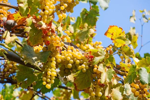 晴れた日の間に青い空を背景においしい熟した白ブドウ