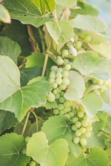 晴れた日の間においしい熟した白ブドウ