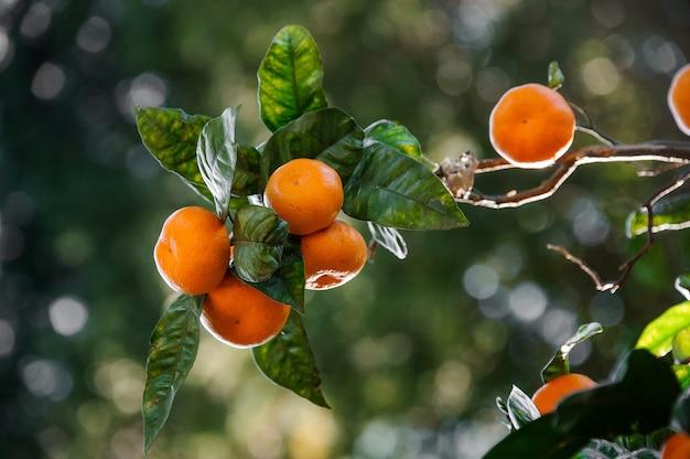 즙이 많은 녹색 잎 나무에 맛있는 귤 과일. 봄의 개념, 자연의 새로운 삶.