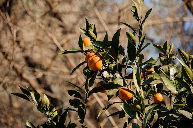 Вкусный мандарин на зеленых листьях дерева. зачатие весны, новой жизни в природе.