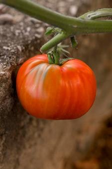 Delicious tomato autumn concept