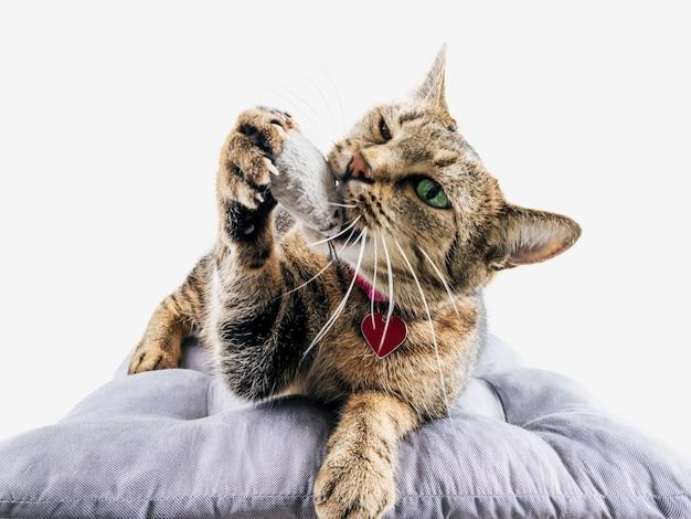 楽しいベンガル猫は柔らかい枕の上に横たわり、おもちゃのマウスで遊んでいます。