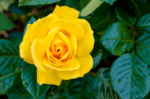 Delightful blooming yellow rose on bush
