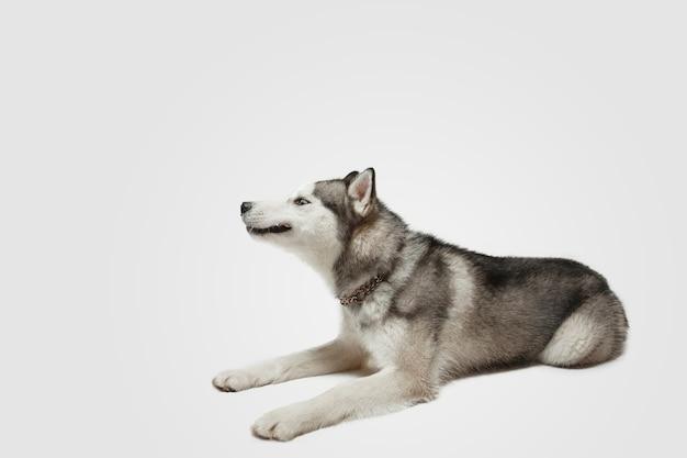 楽しい。ハスキーコンパニオンドッグがポーズをとっています。白いスタジオの背景で遊ぶかわいい遊び心のある白い灰色の犬やペット。動き、行動、動き、ペットの愛の概念。幸せ、喜び、おかしいように見えます。
