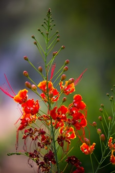 Delonix regiaは、マメ科またはジャケツイバラ科の顕花植物の一種です。