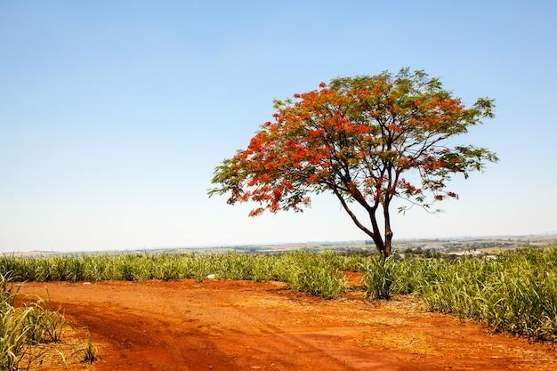Один delonix regia яркие красные цветы дерева на сельской дороге на плантации сахарного тростника