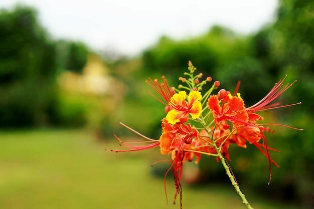 Delonix regia цветок в саду