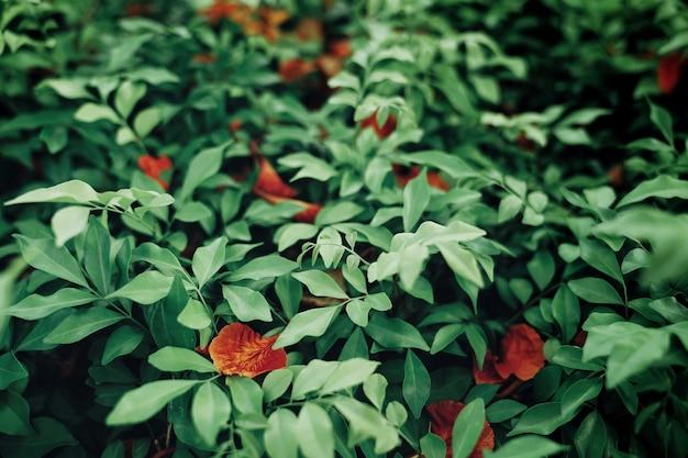 ブッシュの赤いdelonix regia