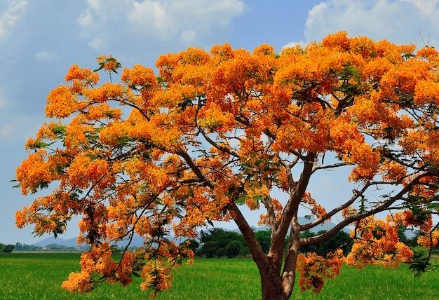 Крупный план группы delonix regia цветок