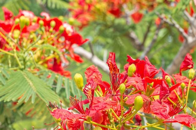 赤とオレンジの花、樹木のdelonix regia。