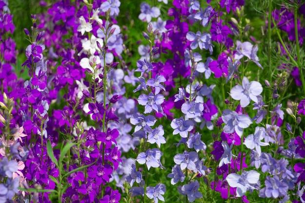 Delphinium blooms in the garden bright blue purple flowers