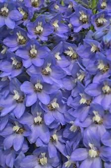 Delphinium  blue  grows in the garden. double delphinium blue flower.