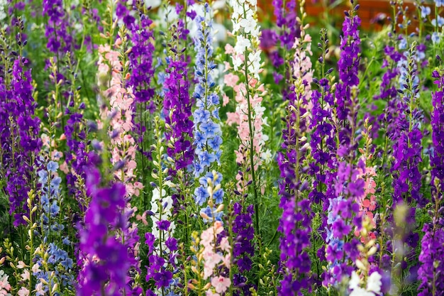 Delphinium elatum은 배경 여러 가지 빛깔의 larkspur 꽃 delphinium putple 블루 핑크를 닫습니다.