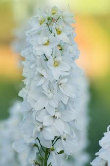 デルフィニウムの白い花の庭の成長