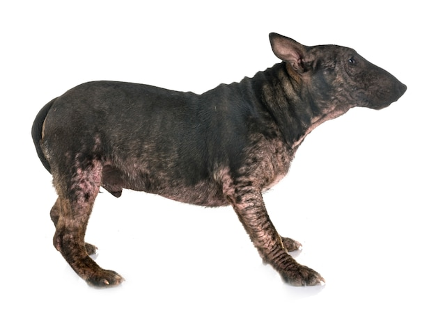 Demodicosis and bull terrier