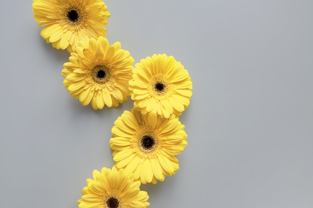 Демонстрируем модные цвета 2021 года - серый и желтый. красивые цветы герберы на сером фоне с копией пространства.