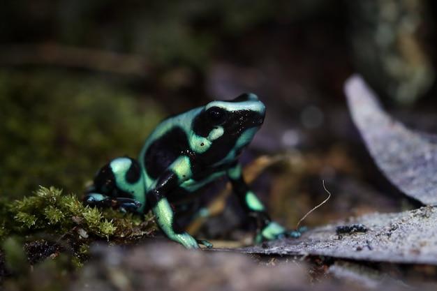 ヤドクガエルの緑のダーツカエルのクローズアップヤドクガエルの緑のクローズアップ