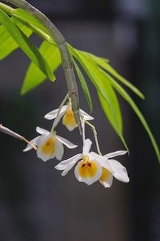 Цветок орхидеи dendrobium bensoniae крупным планом на природе, красивые белые орхидеи в ботаническом саду