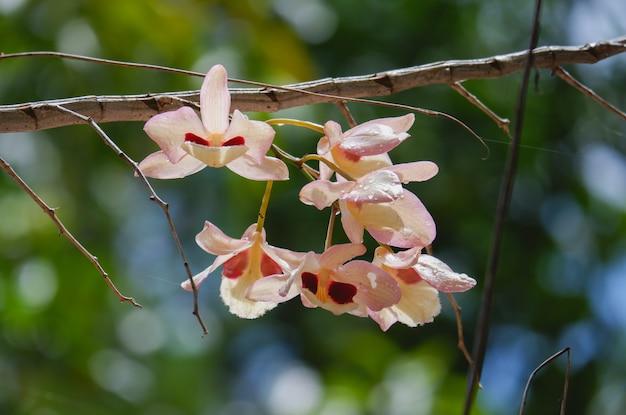 Цветок орхидеи dendrobium puchellum крупным планом на природе, красивые белые орхидеи в ботаническом саду