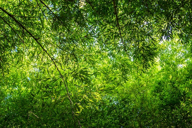 Dense bamboo forest on a sunny day