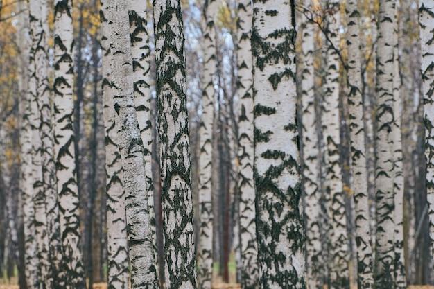 鬱蒼とした白樺の森。都市公園の白樺の木の幹。無人。新鮮で健康的な湿った森の空気。