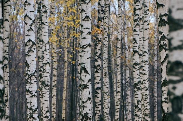 Густой березовый лес осенью