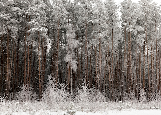 Dense coniferous forest with some deciduous woods covered with snow and ice in the winter season, the morning frosty and cold