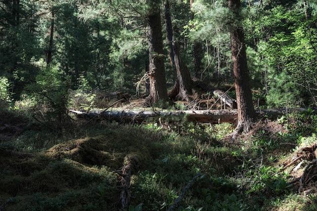 鬱蒼とした暗い森と倒木は、野生の自然にたくさんの緑と新鮮な空気を蓄えています