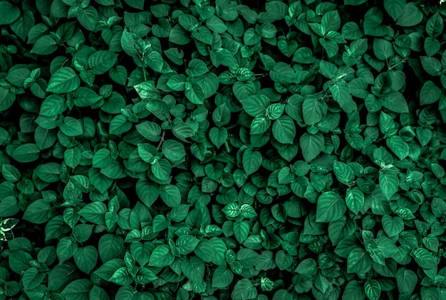 Dense dark green leaves in the garden. emerald green leaf texture. nature abstract background. tropical forest. above view of dark green leaves with natural pattern. tropical plant.