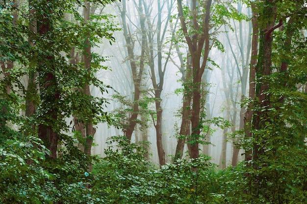 森の中の濃い霧。森の中の不思議な雰囲気。霧の中から木々が見える_