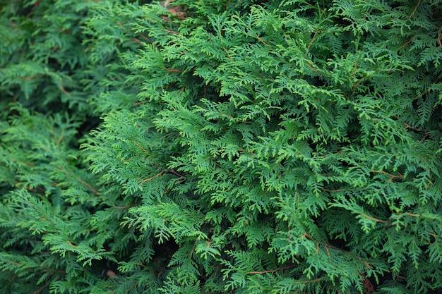 密な葉とthujaの枝は背景の植物パターン