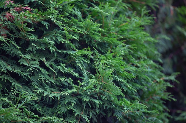 Dense foliage and branches of thuja a plant pattern for the background
