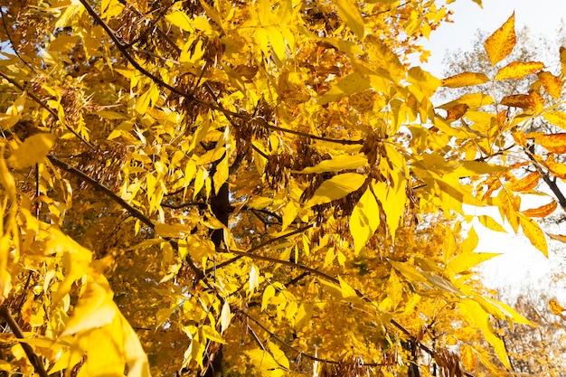 秋のシフト、秋の初め、そして葉がまだ地面に落ちなかった間のトネリコの木の密な葉