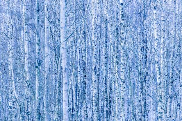 Dense forest of bare birch trees in winter