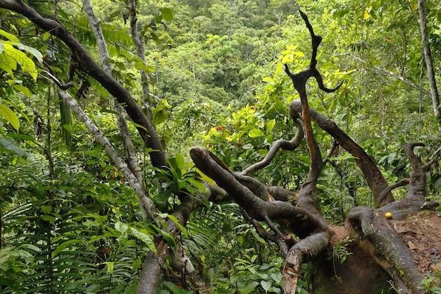 乾燥した幹を望むジャングル内の鬱蒼とした森。チャンチャマヨ