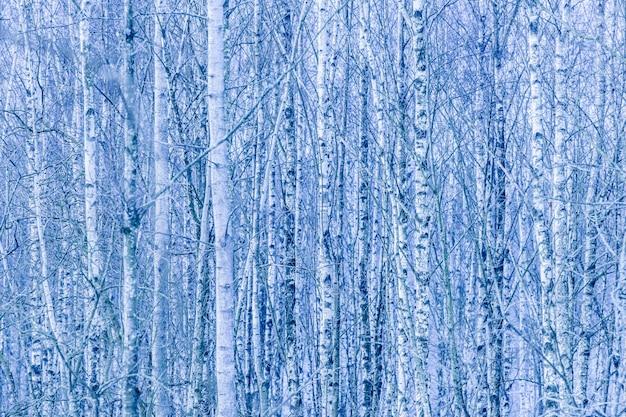 겨울에 벌 거 벗은 자작 나무의 울창 한 숲