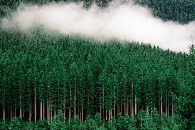 Густой лес с высокими соснами и туманом